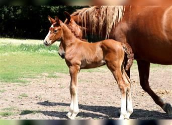 Anglo European Studbook, Stallion, Foal (07/2021), Can be white