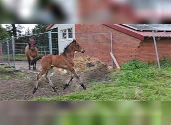 Baroque Pinto Mix, Mare, Foal (01/2021), 16 hh, Brown