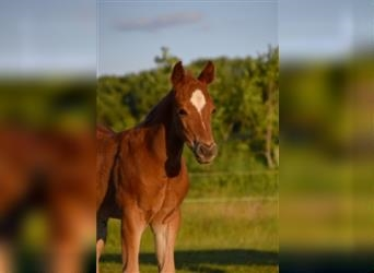 Paint Horse, Mare, Foal (05/2021)