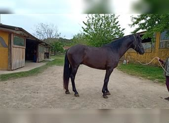 Andalusian, Gelding, 4 years, 15.2 hh, Black