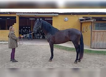 Andalusier, Wallach, 4 Jahre, 158 cm, Rappe