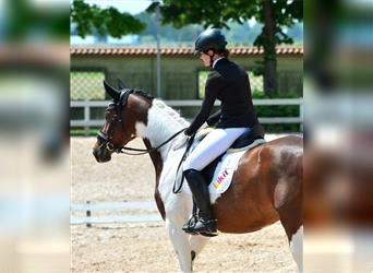 NRPS, Mare, 4 years, 16.2 hh, Pinto