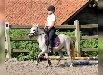 Andalusier, Stute, 12 Jahre, 110 cm, White