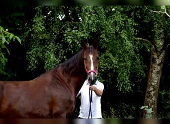 KWPN, Mare, 11 years, 16.1 hh, Chestnut