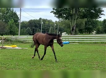 Other Thoroughbreds, Mare, 3 years, 15.3 hh