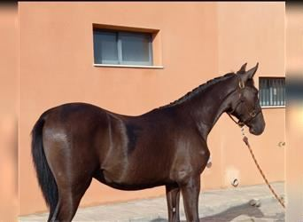 Andalusian, Stallion, 1 year, 16 hh, Black