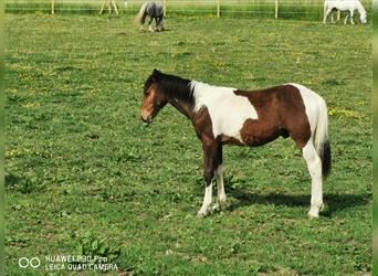 Mustang (american) Mix, Stallion, Foal (07/2021), 15.2 hh