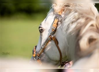 Paint Horse, Stallion, 1 year, 15 hh, Champagne