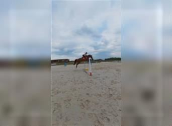 Hungarian Sport Horse, Mare, 8 years, 16.1 hh, Chestnut-Red