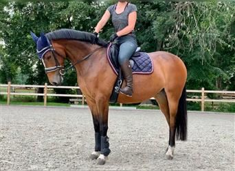Other Thoroughbreds, Mare, 7 years, 15.1 hh, Brown