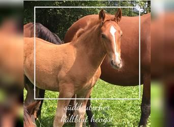 South German Coldblood, Stallion, Foal (05/2021), Chestnut-Red