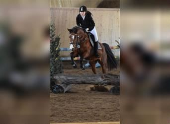 German Riding Pony, Mare, 17 years, 14.1 hh, Brown