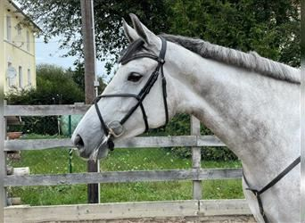 KWPN, Mare, 5 years, 17.1 hh, Gray