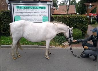More ponies/small horses, Mare, 8 years, 11.1 hh, Gray