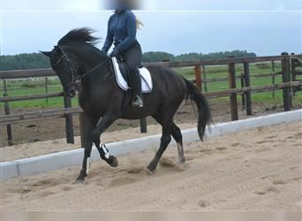 Other Breeds, Mare, 11 years, 15.2 hh, Black
