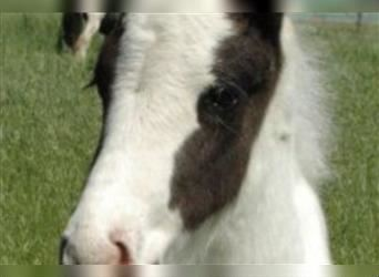Gypsy Horse, Stallion, Foal (01/2021), 12.2 hh, Pinto