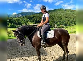 Andalusian Mix, Mare, 5 years, 15.2 hh, Black