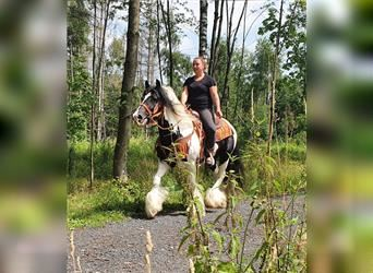 Gypsy Horse, Gelding, 13 years, 15.1 hh, Pinto