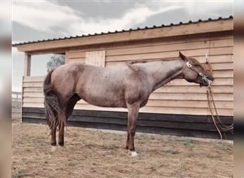 American Quarter Horse, Stallion, 5 years, 14.2 hh, Roan-Red
