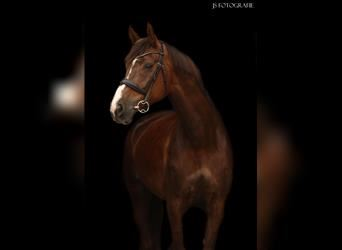 KWPN, Mare, 9 years, 16.3 hh, Chestnut