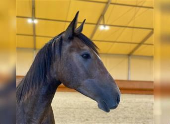 Lusitano, Gelding, 2 years, 15.1 hh, Can be white