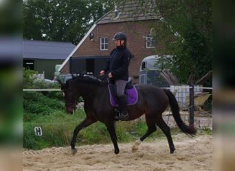 KWPN, Mare, 5 years, 15.2 hh, Smoky-Black