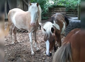 American Miniature Horse, Mare, 4 years, 9.2 hh, Overo-all-colors