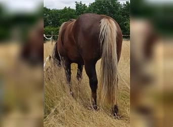 Black Forest Horse, Mare, 5 years, 15 hh, Chestnut