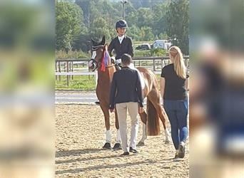 German Riding Pony, Mare, 4 years, 14.1 hh, Chestnut-Red