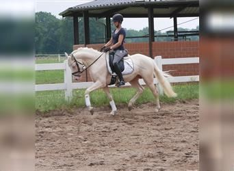 More ponies/small horses, Stallion, 5 years, 14.2 hh, Cremello