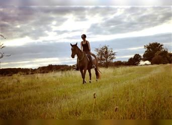 Other Thoroughbreds, Mare, 16 years, 16 hh, Brown