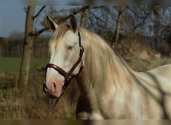 Andalusier, Hengst, 6 Jahre, 160 cm, Cremello