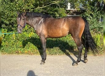 Andalusian, Mare, 5 years, 16 hh, Brown