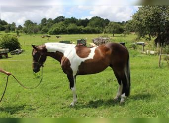 Paint Horse, Gelding, 4 years, 14.2 hh, Pinto