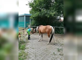Arabian Partbred, Mare, 5 years, 14.2 hh, Overo-all-colors