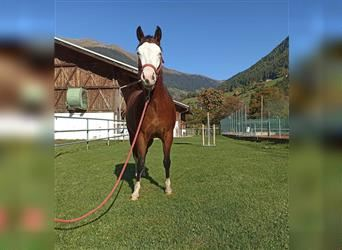 Paint Horse, Mare, 2 years, 14.2 hh, Brown