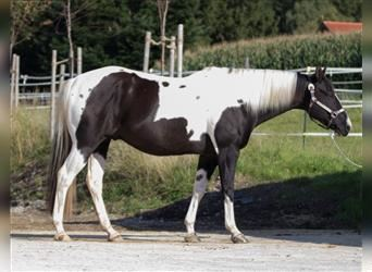 Paint Horse, Wallach, 5 Jahre, 156 cm, Tobiano-alle-Farben