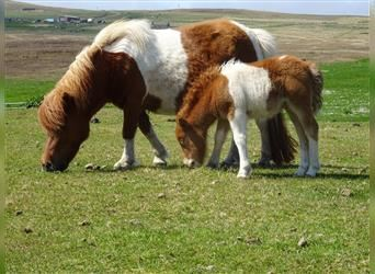 Shetland Ponies, Mare, 4 years, 9.1 hh, Tobiano-all-colors