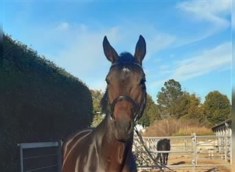Trakehner, Mare, 11 years, 16 hh, Brown