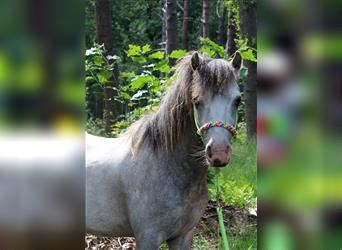Welsh A (Mountain Pony), Gelding, 5 years, 11.1 hh
