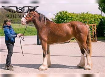 Shire Horse, Mare, 2 years, 17.1 hh, Brown