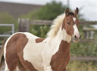 Paint Horse, Mare, Foal (04/2021), Pinto