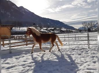 Haflinger, Mare, 4 years, 14.3 hh, Chestnut-Red