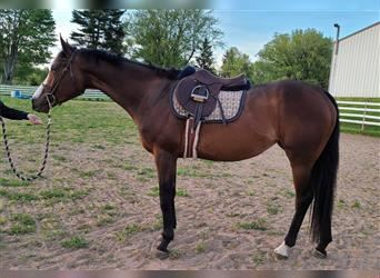 Other Thoroughbreds, Mare, 4 years, 16.1 hh, Bay