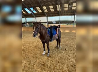 Welsh D (Cob) Mix, Mare, 4 years, 14.2 hh, Chestnut