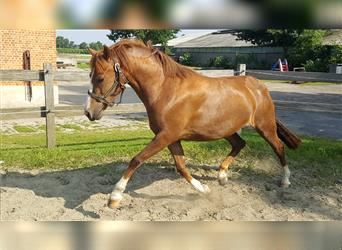 Belgian Riding Pony, Mare, 3 years, Chestnut-Red