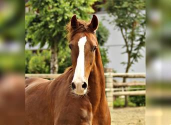 KWPN, Mare, 8 years, 15.2 hh, Chestnut-Red