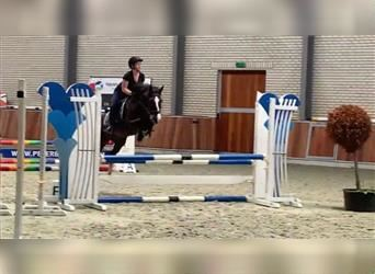 More ponies/small horses, Mare, 6 years, 14.1 hh, White