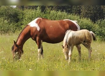 Paint Horse, Mare, 9 years, 14.3 hh, Tobiano-all-colors