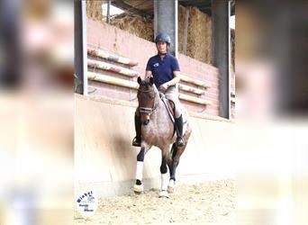 Other Warmbloods, Gelding, 4 years, 15.1 hh, Gray-Red-Tan